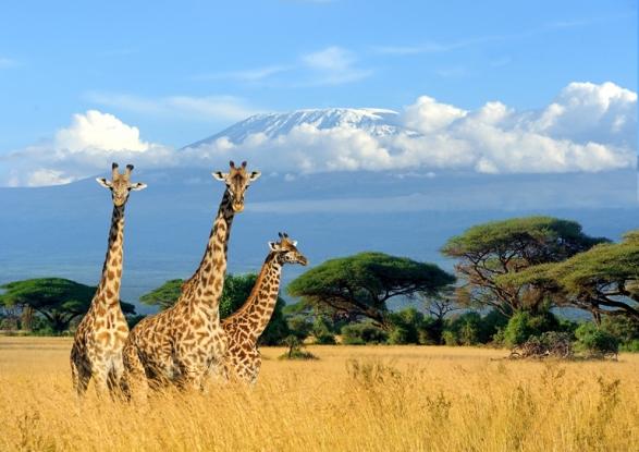 Жирафи, Африка