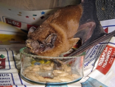 Прилеп от вида ръждив вечерник (Nyctalus noctula) - Майката