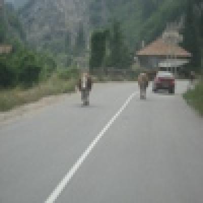 Крави пречат на движението по главен път