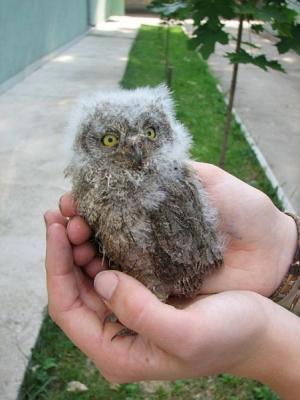SMS помощи за малките бебета птички  - Бухалите