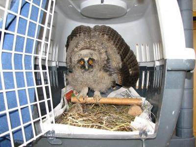 SMS помощи за малките бебета птички  - Горските ушати сови