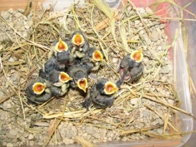 Малките бебета синигери са винаги гладни