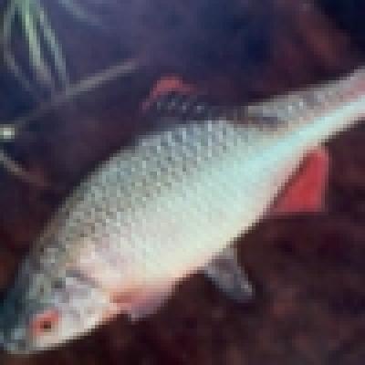 Рибата в река Стряма в района на карловския град Баня е измряла