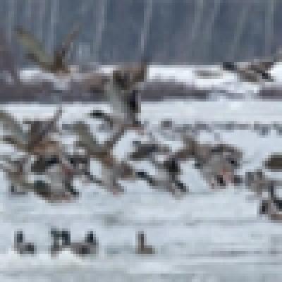 Избрани НОВИНИ от пресата за Вас... - Няма да бъде удължен ловният сезон за водоплаващи птици, обещаха от ГЕРБ