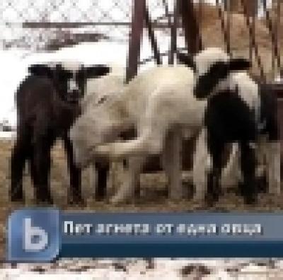 Избрани НОВИНИ от пресата за Вас... - Овца роди наведнъж пет агънца
