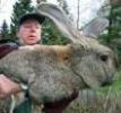 Избрани НОВИНИ от пресата за Вас... - Най- големият заек в света!