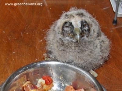 ПОМОЩ, намерих бебе на диво животно!!! - Малко на горска ушата сова