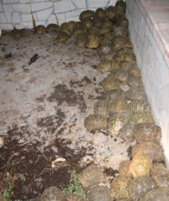 153 костенурки спасени от служители на реда! - Приемане1