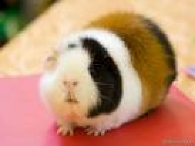 Морско свинче - Сеното е жизненоважно за морското свинче