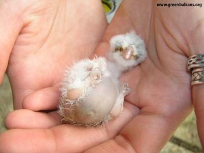 ПОМОЩ, намерих бебе на диво животно!!! - Как да действаме, когато намерим бебе птичка?