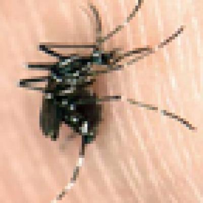 опасен тигров комар