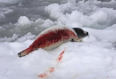 Жестокостта при избиването на тюлените е една от причините за острата реакция в цял свят