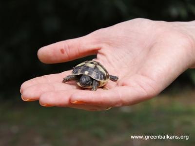 Новите пациенти в Спасителния център - Малкото бижу шипоопашата костенурка (Testudo hermanni)