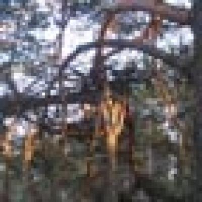 борова листна оса