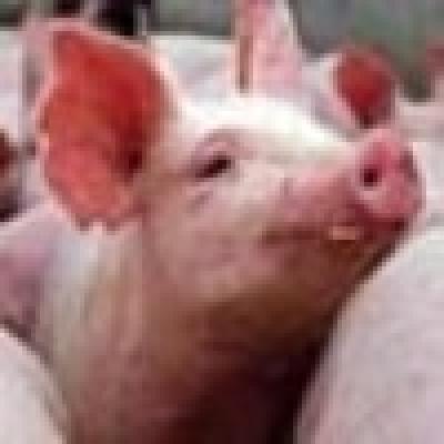 Ветеринари установиха липса на документи за произход за 50 свине в град Етрополе