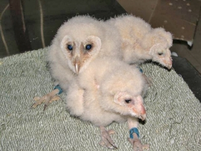 Сови и керкенези се размножават в Спасителния център  - Бебетата забулени сови