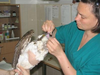 Орел рибар постъпи на лечение в Спасителния център  - Преглед
