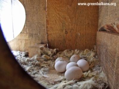 - Яйцата на забулените ни сови...