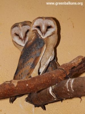 - .. а пухчетата стават ето такива прекрасни забулени сови