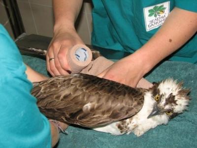 Поставяне на превръзка на нараненото крило
