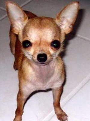 Най малкото кученце в света-снимка 2