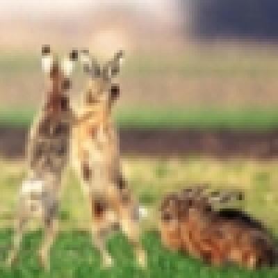 Избрани НОВИНИ от пресата за Вас... - Налага се реинтродукция на дивия заек в Родопите