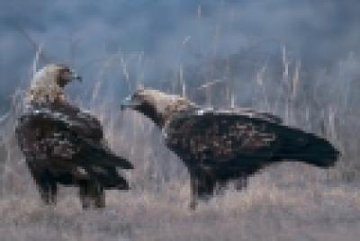 Залесяване и дейности за опазване на царския орел