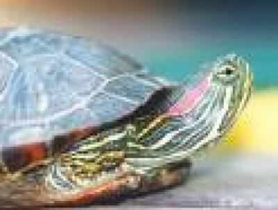 Червенобузите костенурки живеят цял век