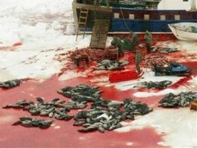 Така изглежда комерсиалния лов на тюлени