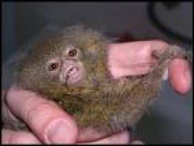 Маймунка голяма колкото орех