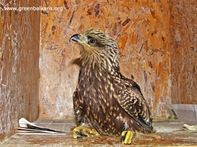 Новите пациенти в Спасителния център - ... гласовита птица