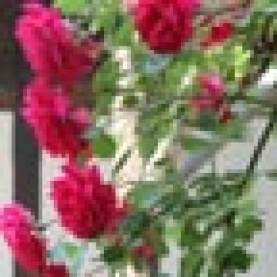 Институтът по розата преминава към Селскостопанската академия