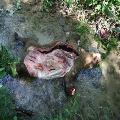 Кафява мечка стана жертва на бракониери край село Влахи, община Кресна