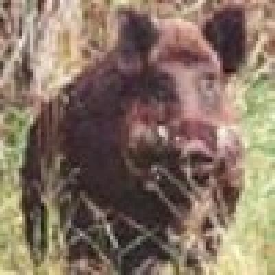 Диви прасета притесняват хората в гоцеделчевското село Делчево