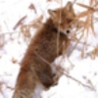 480 домашни животни в дупнишкото село Джерман са били ваксинирани заради бясна лисица