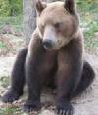 Избрани НОВИНИ от пресата за Вас... - Стотици мечки са съжителствали със стадата, кошерите и градините