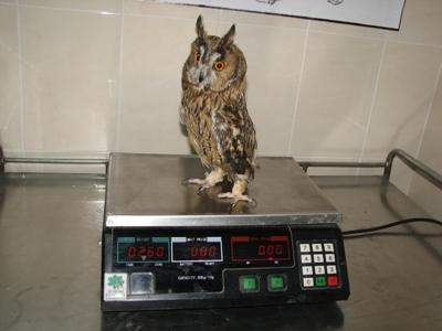 При постъпването си птицата тежи едва 260 грама, при норма от 350-400 грама