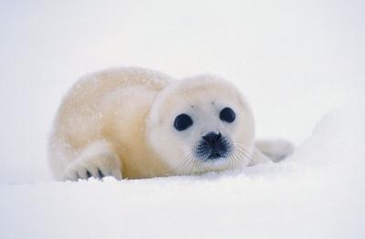 Малките тюленчета често се избиват с бухалки