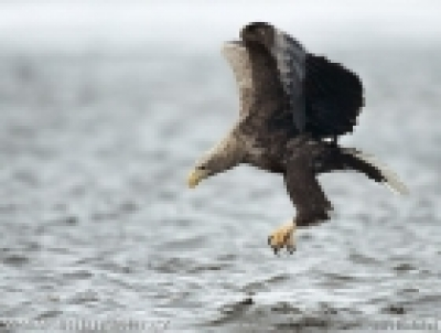 Ново гнездо на двойка морски орли е регистрирано
