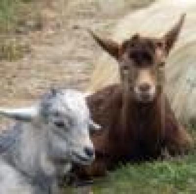 Около 30 кози са се отровили с третирана пшеница в Главиница, Силистренско