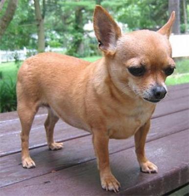 Вероятно най-малкото кученце в света е дълго 10см. - Най малкото кученце в света-снимка 3