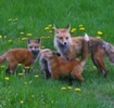 Мръсните номера на лисицата