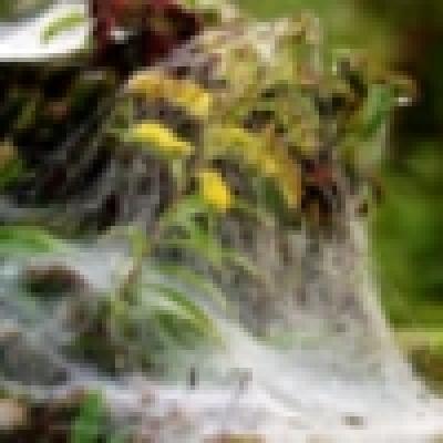Заради топлото време защитено растение Родопски крем цъфна по-рано от обикновено