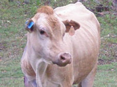 Свещена крава 2