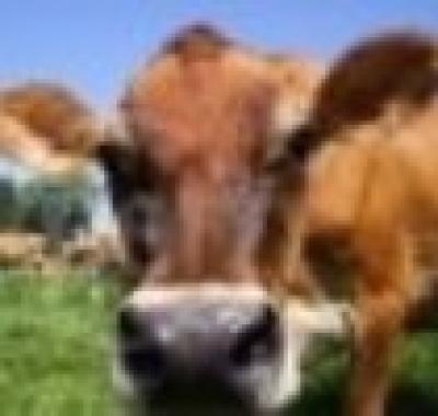 """Златоградското село Кушла е резерват за породата """"Българско късорого говедо"""""""