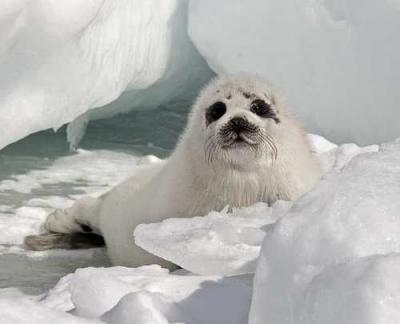 Данните за глобалното затопляне вещаят драстично намаляване на популациите на тюлените. Въпреки това комерсиалния лов продължава