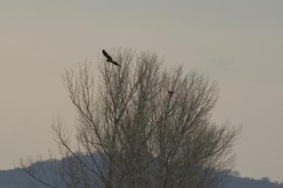 Два царски орела