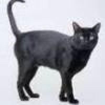 Бомбайска котка