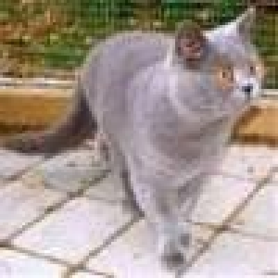 Британска късокосместа котка