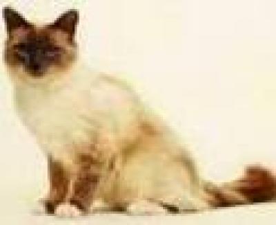 Бурма котка